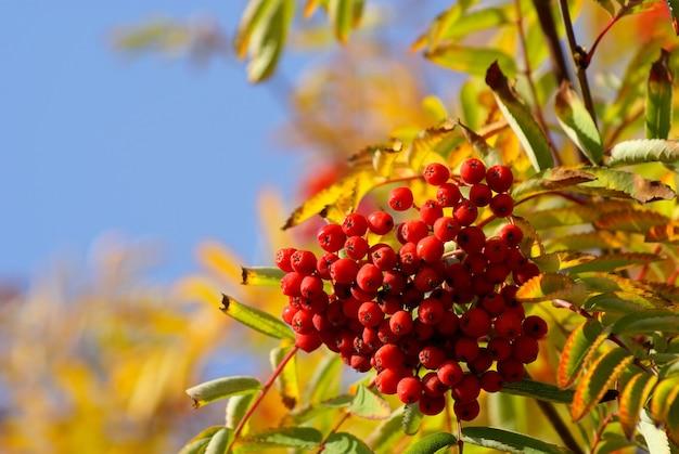 木の上のナナカマドの果実