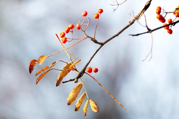 Ветка рябины с красными ягодами и желтыми листьями на размытом фоне