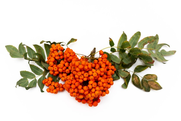 白い背景に赤いベリーと黄色の葉を持つナナカマドの枝、クローズアップ