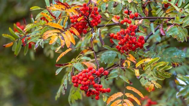 赤い果実、色とりどりの葉と雨滴とナナカマドの枝