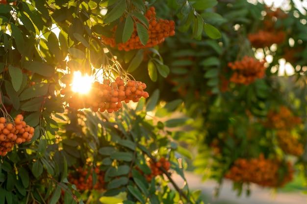 Rowan branches in sunset light. rowan berries on rowan tree. sorbus aucuparia.