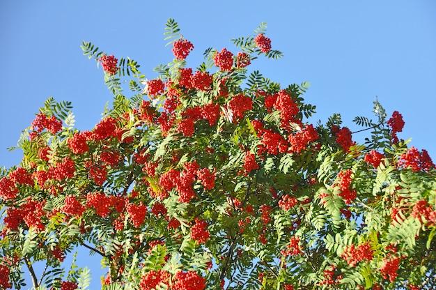 Ветки рябины с красными ягодами. красные ягоды рябины на ветвях рябины и зеленые листья на фоне голубого неба