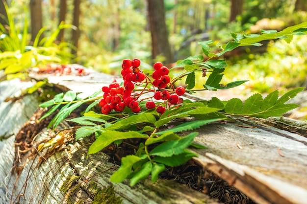 Ветви рябины с крупным планом спелых плодов. красные ягоды рябины на ветвях дерева рябины, крупном плане зрелых ягод рябины и зеленых листьях.