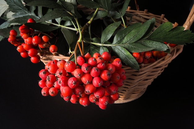 검정색 배경에 고리버들 바구니에 로완 움큼. 가을 선물, 수확의 계절.