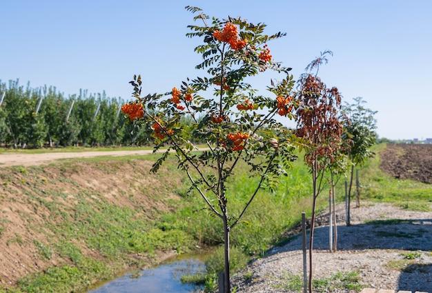 木の枝のナナカマド。木の枝に熟した赤いナナカマドの果実の束。