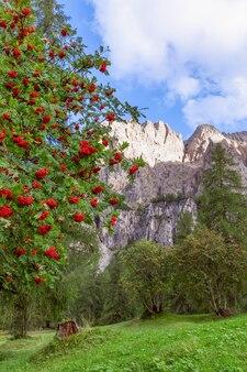 Rowan tree in the mountains