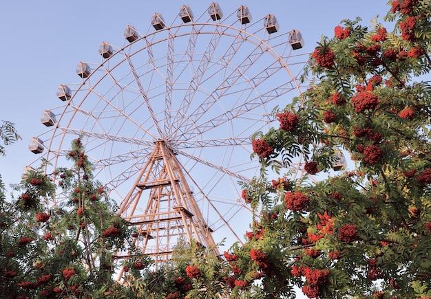 Рябина с колесом обозрения пучки красной рябины на фоне колеса обозрения