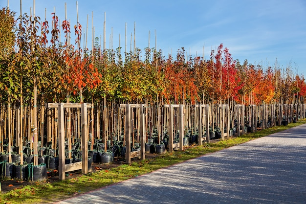 Rows of deciduous trees in the garden center selling plants seedlings of various