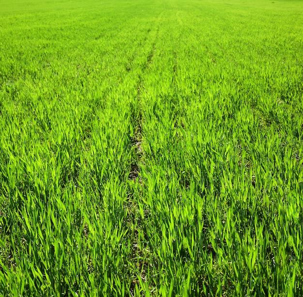 行、春の小麦と畑の断片、太陽に照らされた葉