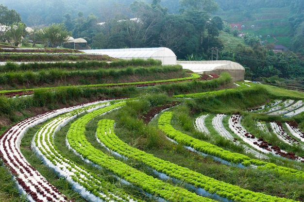 Rows of fresh lettuce plantation and vegetable of familiar agriculture and greenhouse at countryside in thailand