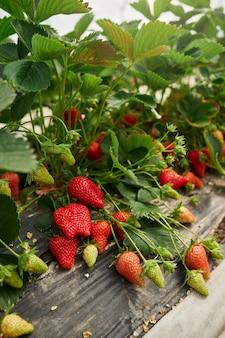Righe di fragole organiche fresche che crescono in serra