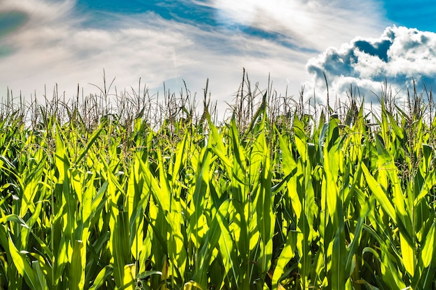 Rows of fresh unpicked corn with green field on blue sky background