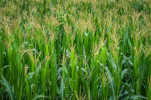 Rows of fresh unpicked green leaves of corn
