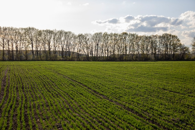 Rows of green spring barley. selective focus