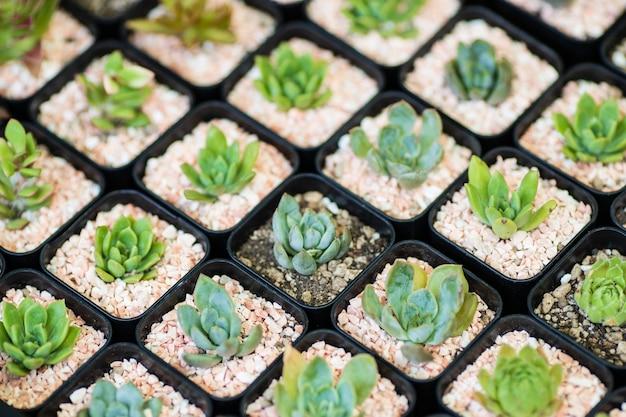 Ряды группы кактусов различных мелких видов в маленьких пластиковых горшках.