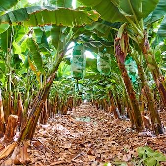 바나나 농장에서 바나나 나무의 행