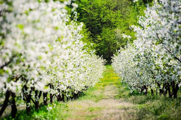 녹색 잔디에 아름답게 꽃이 만발한 벚꽃 나무의 행