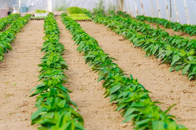 온실에 피망 묘목의 행입니다. 큰 온실과 후추 줄, 야채 재배