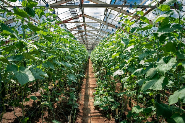 有機農場の温室のキュウリの列。