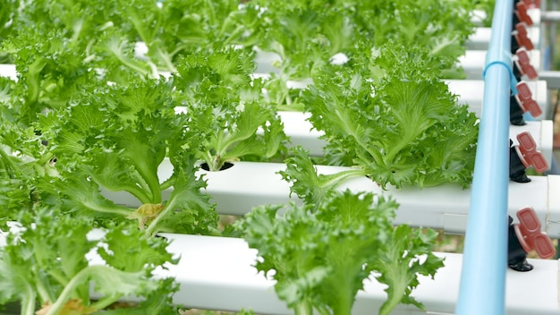 現代の生態学的な水耕農場、庭のベッドで育つ新鮮なジューシーな植物の列。