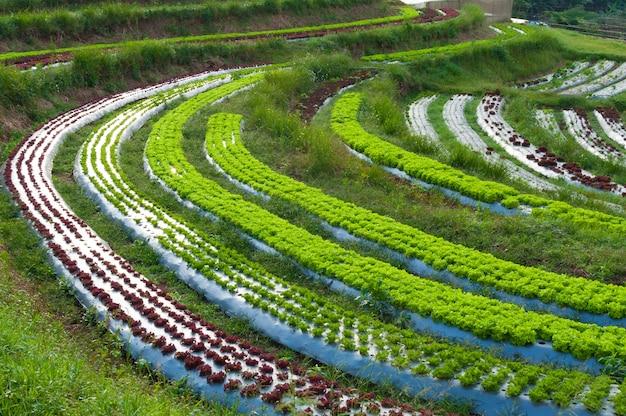 田舎でおなじみの農業の新鮮なレタスプランテーションと野菜の行