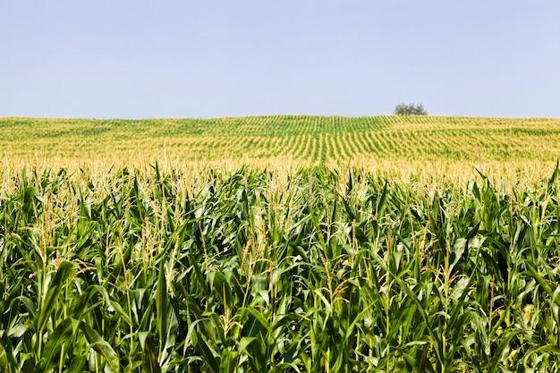 Ряды зеленой кукурузы летом