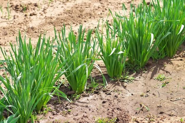 野菜畑で育つ新しいリーキの列。野菜畑のニンニク農園