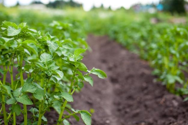 Ряды картофеля в домашнем саду подготовка к уборке сельское хозяйство выращивание картофеля