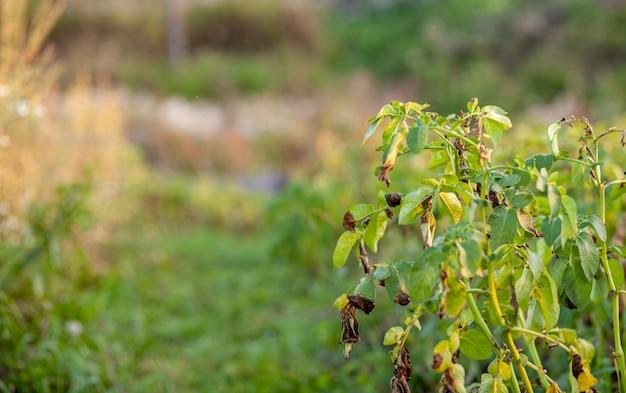 Ряды картофеля в домашнем саду. подготовка к сбору урожая. картофельные растения рядами на огороде фермы весной с солнечным светом. зеленое поле посевов картофеля в ряду. выращивание картофеля.