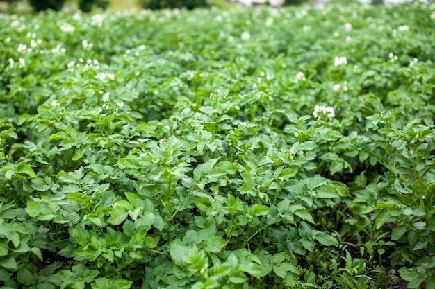 집 정원에서 감자의 행입니다. 수확을 위한 준비. 햇빛과 함께 부엌 정원 농장 봄 날에 행에 감자 식물. 연속으로 감자 작물의 녹색 필드입니다. 감자의 성장.