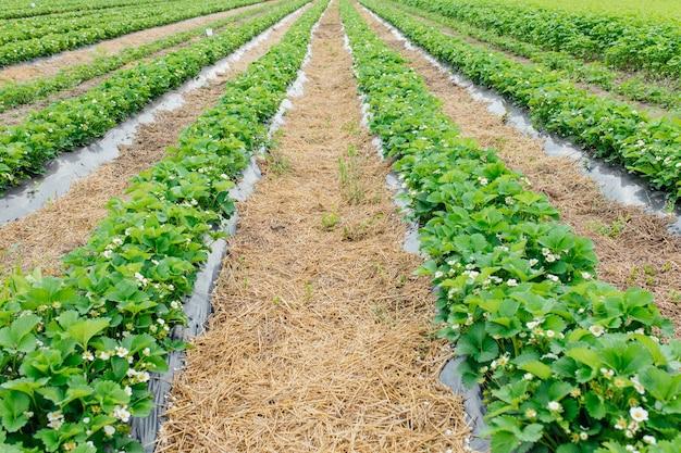 Ряды клубники в цвету на ферме, укрытой черной пленкой и соломой из защищенного выращивания, сельское хозяйство фермы земляничного поля биотехнологии