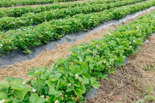 Ряды клубники в цвету в концепции технологии фермы ландшафта умного сельского хозяйства