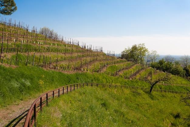 Ряды виноградных лоз вдоль пешеходной тропы