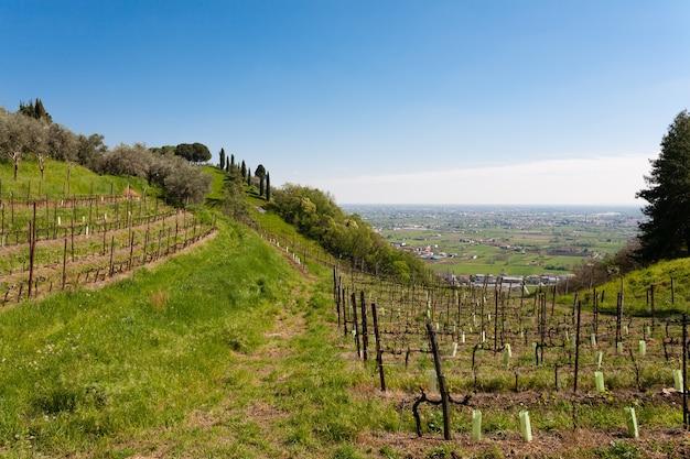 Ряды виноградных лоз и оливковых деревьев на холме