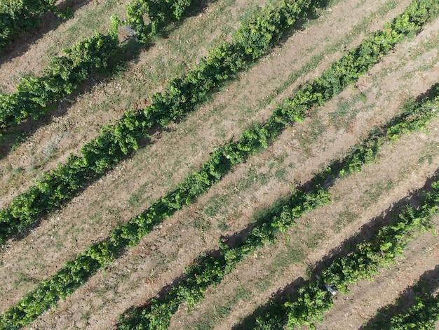 ブドウの茂みのあるブドウ畑の列、空中写真。
