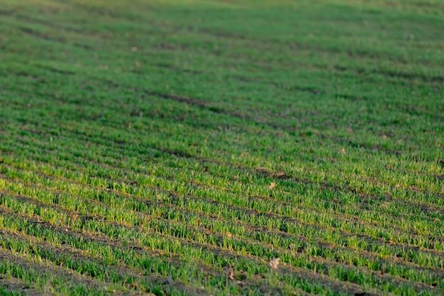 12月、ポーランドの小麦苗の行