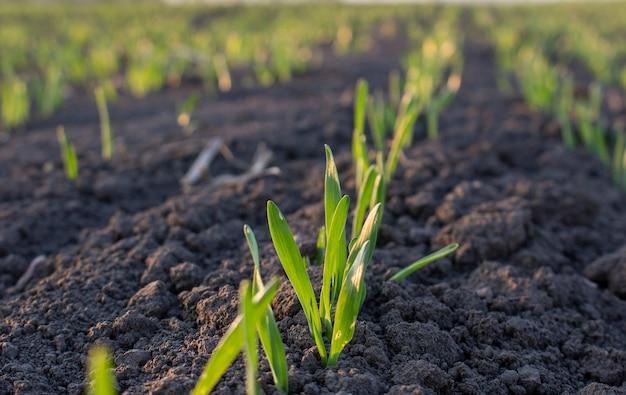 Ряды молодого ячменя в почве на поле выращивание зерновых