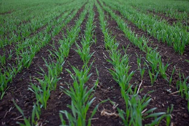 Ряды молодой зеленой пшеницы или ячменя