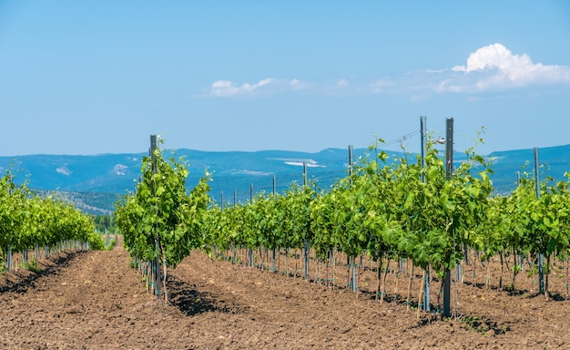 Ряды молодого виноградника в солнечный весенний день. молодые насаждения ухоженного виноградника в начале цветения