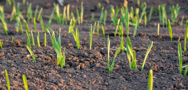 Ряды молодой пшеницы или ячменя, которые плохо вошли в сферу сельского хозяйства