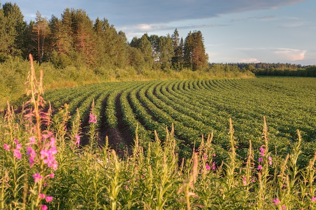 Rows of potato bushes on farm field before sunset, russia.
