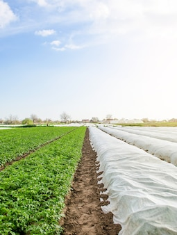 Rows of potato bushes on a plantation under agrofibre and open air hardening of plants in late spring greenhouse effect for protection