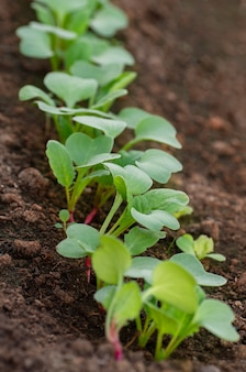 Rows of radish seedlings in the garden. organic healthy food from your own garden.