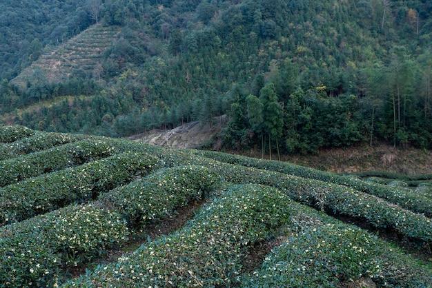 Rows of regular tea trees in the tea garden