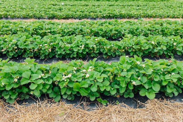 Rows of strawberries in bloom on a farm nestled black film and straw from protected cultivation agriculture farm of the strawberry field of biotechnology