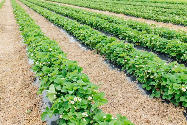 Rows of strawberries plants in bloom in the farm landscape smart agriculture farm technology concept