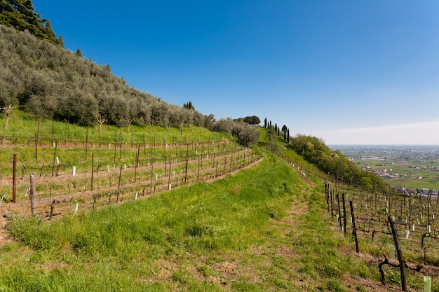 Rows of vines and olive trees on a hill