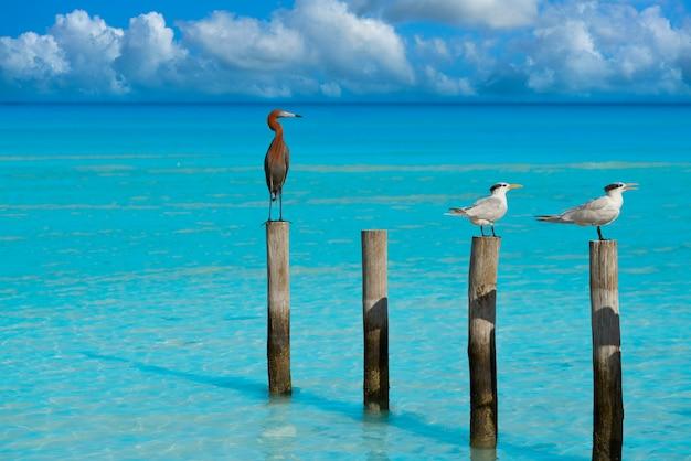 Royal caspian terns and reddish egret heron