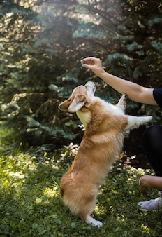 Royal corgi dog stands on its hind legs and catches food from the hands of a man in the forest