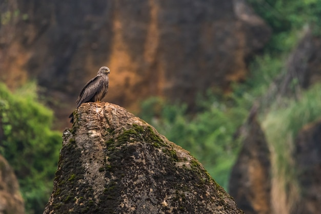 Royal kite perched on a rock